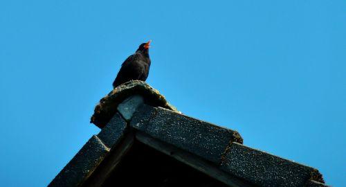 blackbird bird sing