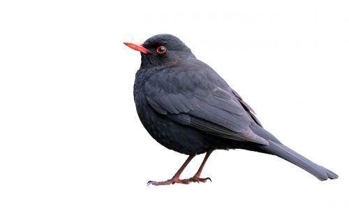 juoda paukštis,izoliuotas,balta,fonas,paukštis,gyvūnas,laukiniai,juoda,laukinė gamta,snapas,gamta,niekas,baltas fonas,bendras juodasis paukštis,baltos spalvos,nėra žmonių,laukinis gyvūnas,vienas gyvūnas,stovintis,plunksna