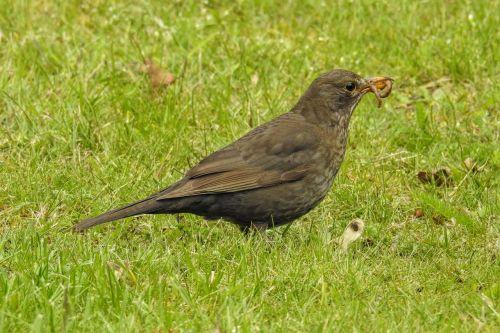 blackbird blackbird female worm
