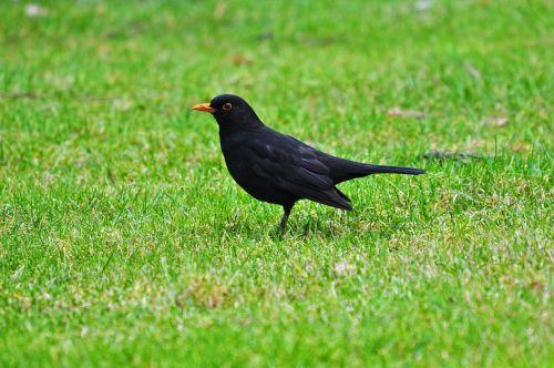 blackbird common blackbird eurasian blackbird