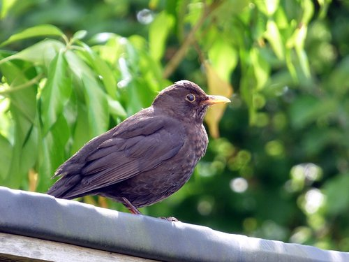 blackbird  bird  nature