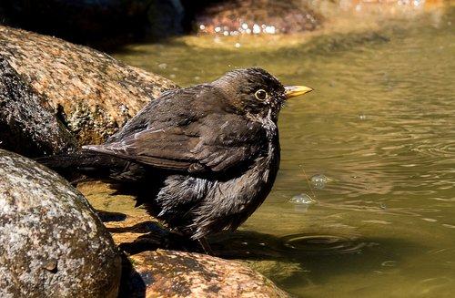 blackbird  songbird  animal