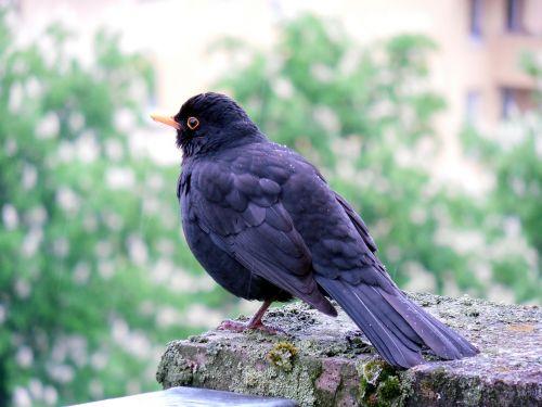 blackbird bird birds
