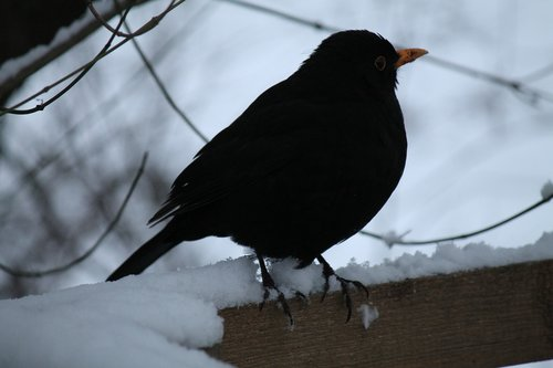 blackbird  winter bird  bird