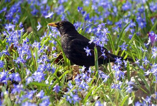 blackbird  meadow  foraging