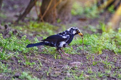 blackbird  earthworm  foraging