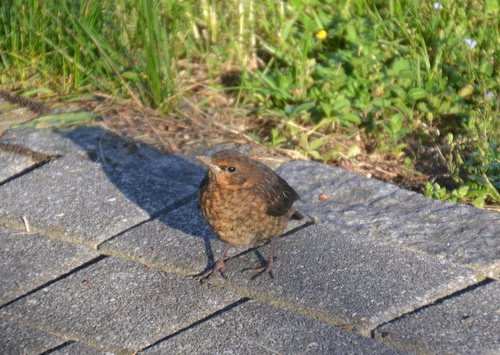 blackbird  blackbird young  young animal