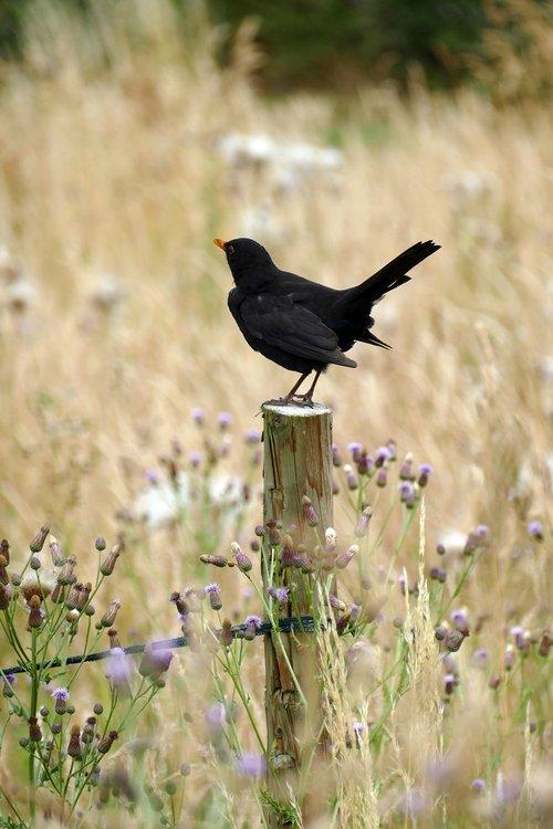 blackbird    fr merula