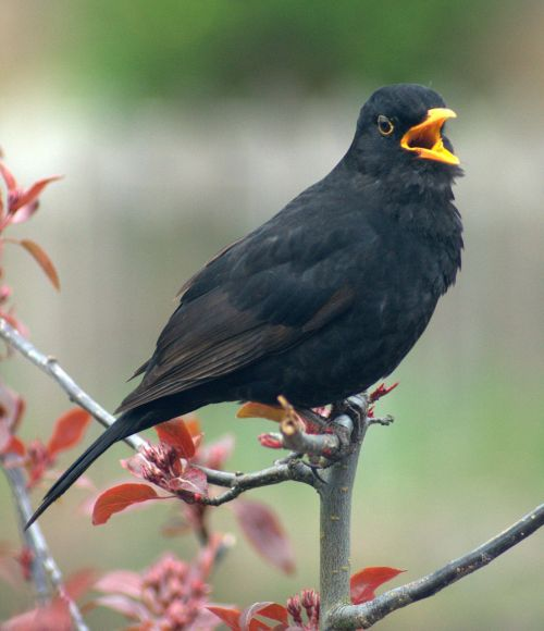 blackbird bird call