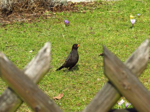 blackbird birds songbird