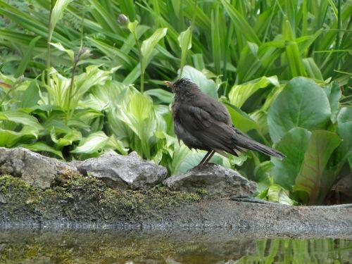 juoda paukštis,paukštis,paukščiai,juoda,juodieji paukščiai,gyvūnas,bankas,gyvūnų pasaulis,gamta,tvenkinys,vanduo,sodas