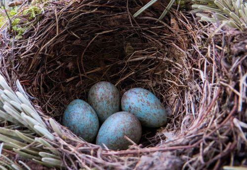 blackbird nest bird's nest