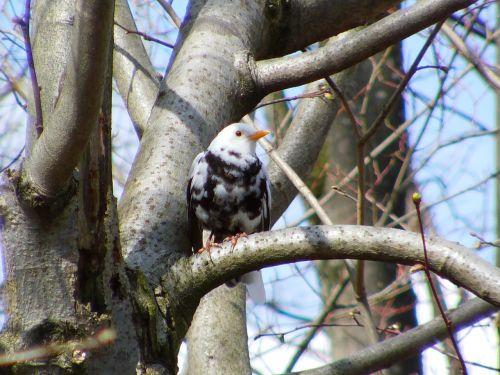 blackbird rarely bird