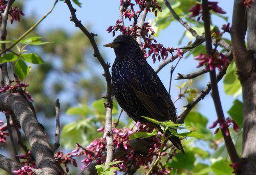 blackbird bird nature