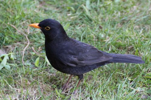 blackbird black bird meadow
