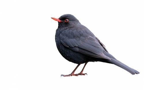 juoda paukštis, paukštis, izoliuotas, balta, fonas, juoda, gyvūnas, gamta, Laisvas, viešasis & nbsp, domenas, Scrapbooking, juoda paukštis, izoliuota ant balto