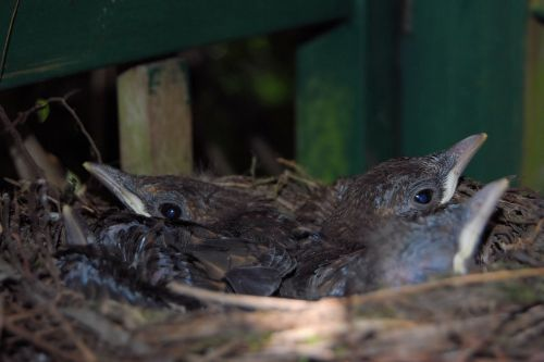 blackbird nest,blackbirds,nest,chicken,blackbird kücken,young birds,bird's nest
