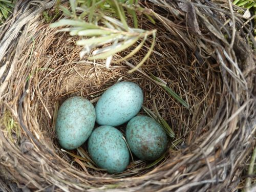 blackbird nest blackbird egg