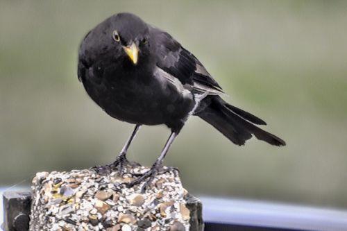 Blackbird On Post