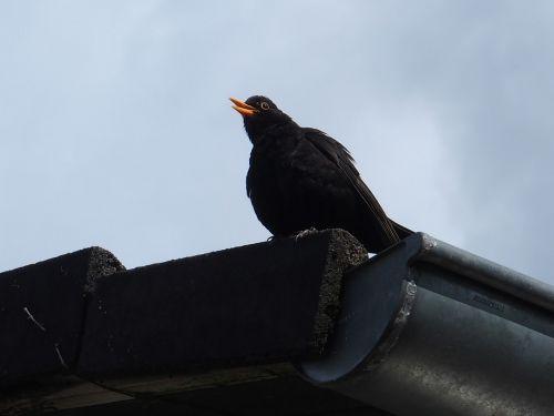 blackbird whistles from roof blackbird male blackbird