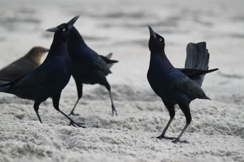 blackbirds beach beach birds