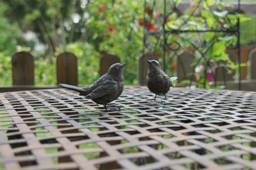 blackbirds garden birds