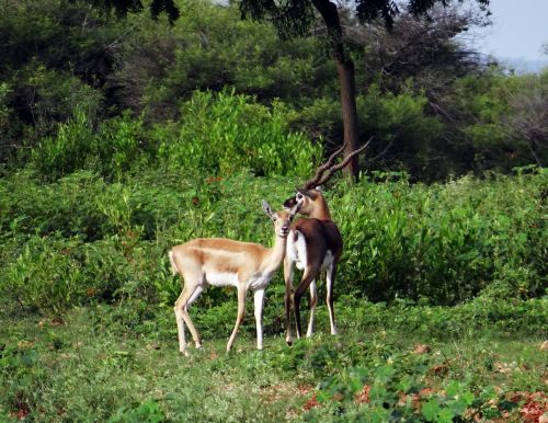 blackbuck animal antelope