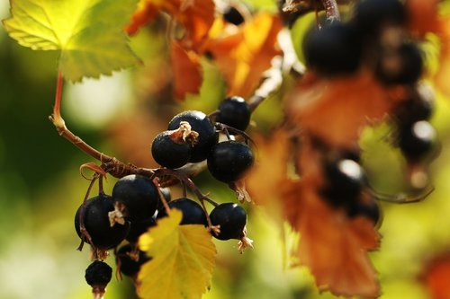 blackcurrant  berry  plant