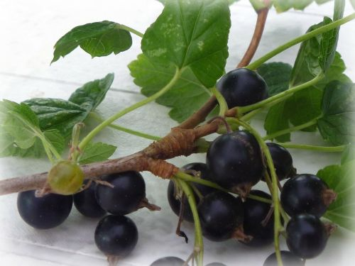 blackcurrant berry currant