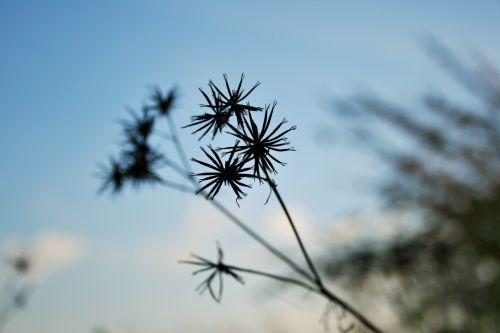 Blackjack Seeds