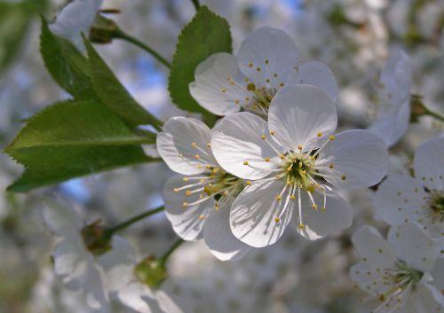 blackthorn spring flowers