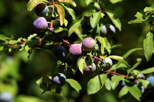 blackthorn sloe fruit