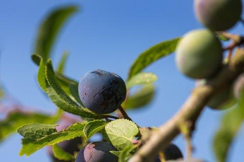 blackthorn  plum  berry