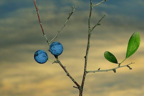 blackthorn  fruit  autumn