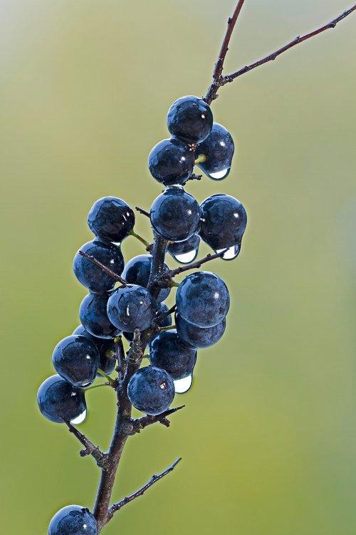 blackthorn  berry  wet