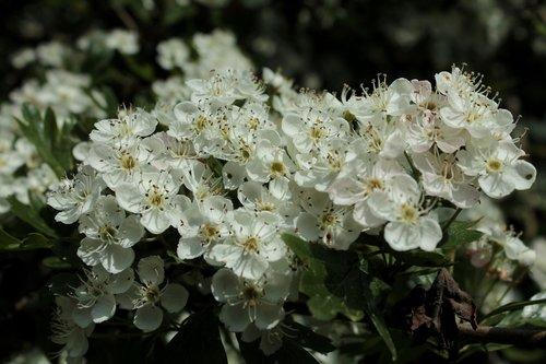 blackthorn  blossom  spring