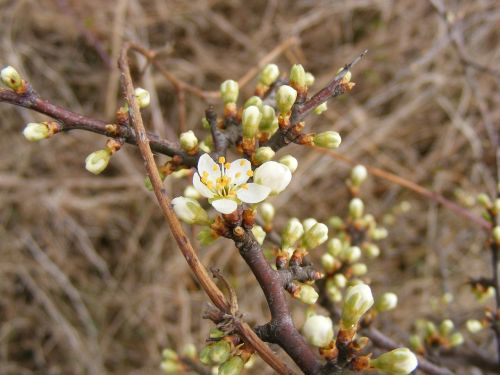 blackthorn buds flowers