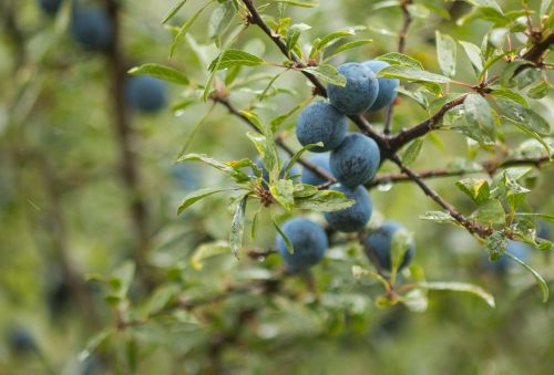 blackthorn schlehe fruit