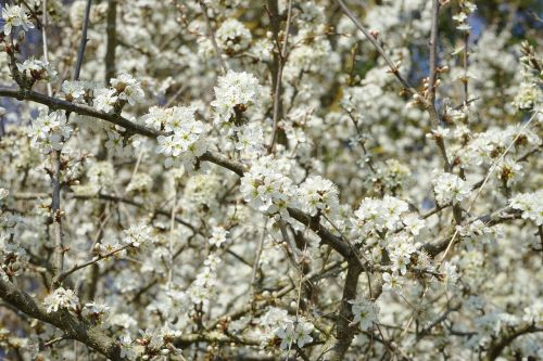 blackthorn flowers sloe hedge flowers