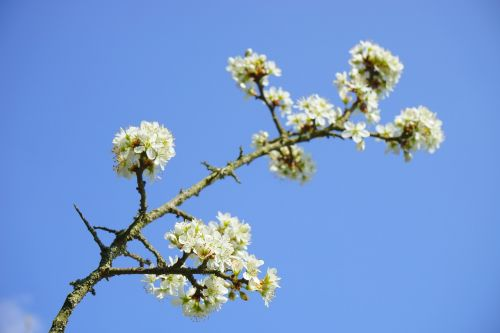 blackthorn flowers branch flowers