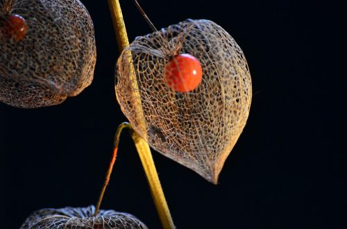 bladder cherry physalis nachtschattengewächs