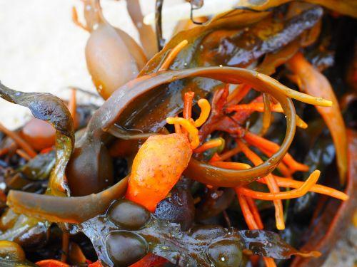 bladderwrack tang seaweed