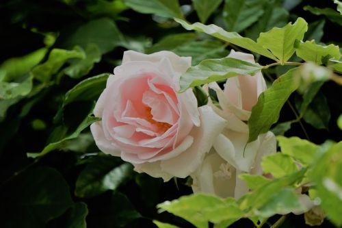 blanche rose fleur flore