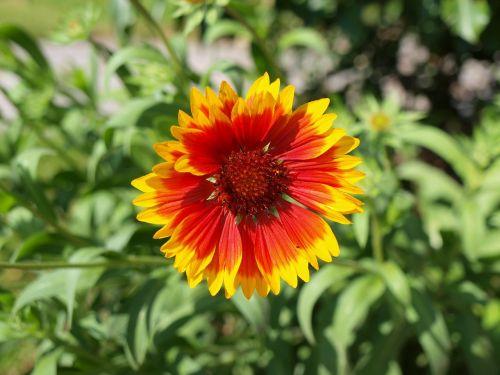 blanket flower plant