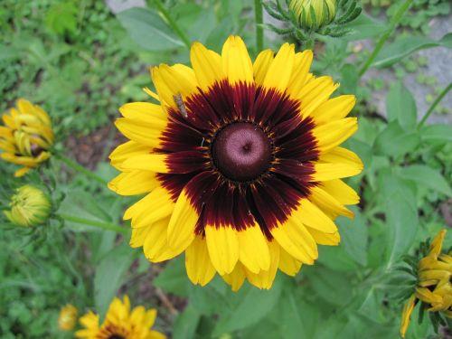 blanketflower garden yellow