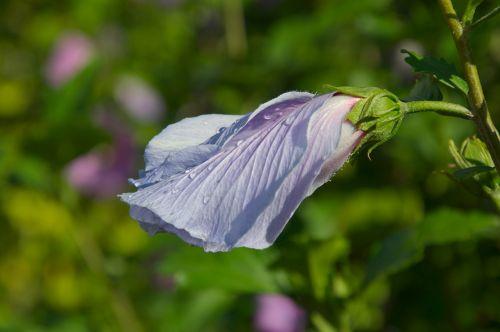 blassblau blossom bloom