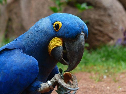 blauaras parrot hyazinth-ara