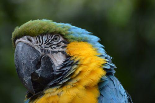 blauwegele ara parrot bird
