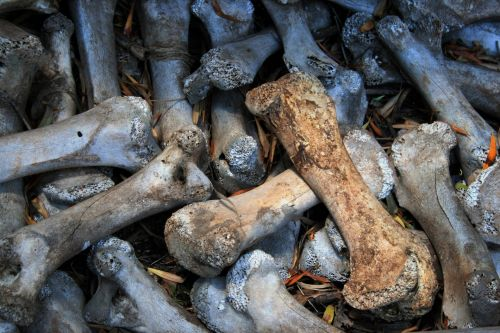 Bleached Ostrich Bones