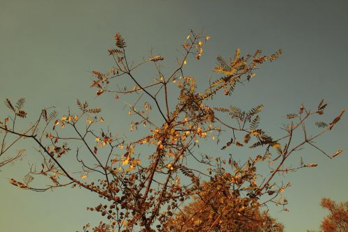 Bleached Tipuana Seeds Against Sky